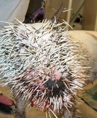 quoted 861 post s re dog tried to eat a porcupine porcupines are yummy    Porcupine Quills In Dog