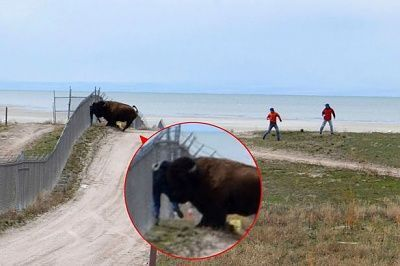 bison-pushing-man-against-fence.jpg