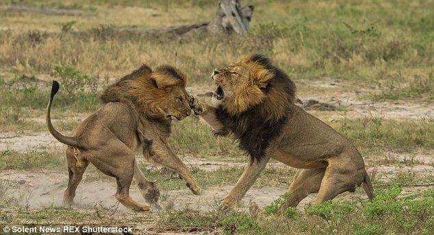 2AFFFF2300000578-0-Cecil_the_lion_s_brother_has_been_shot_dead_in_a_park_in_Zimbabw-m-2_14384516.jpg