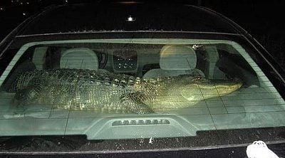 alligator-suspects-car.jpg